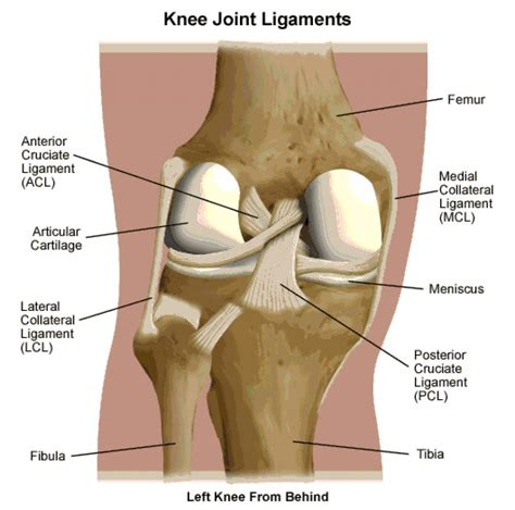 diagram of a knee knee tendon and ligament anatomy human anatomy diagram