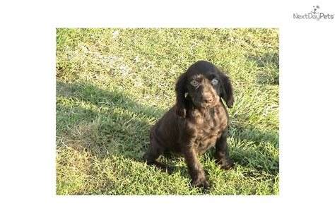 boykin spaniel puppies for sale pitbull puppy for sale in rock breeds picture