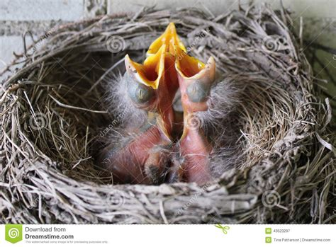 baby robins stock photo image 43523297