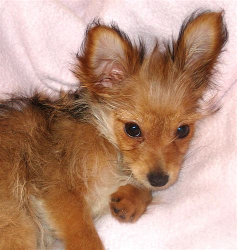 chihuahua yorkie mix puppies the daily puppy photo