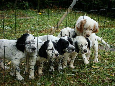 imagenes de setter ingles raza setter ingl 233 s fotos de perros setter ingl 233 s