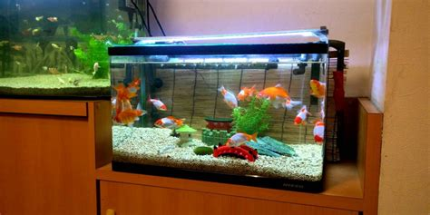 Parenting Relying On Goldfish For Help by While Most Goldfish A Lifespan Of 10 Years The