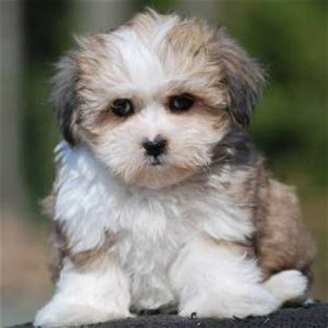 bichon shih tzu mix expectancy teddy puppy teddy breed information