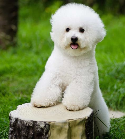 Does A Bichon Frise Shed by Medium Non Shedding Non Barking Dogs Breeds Picture
