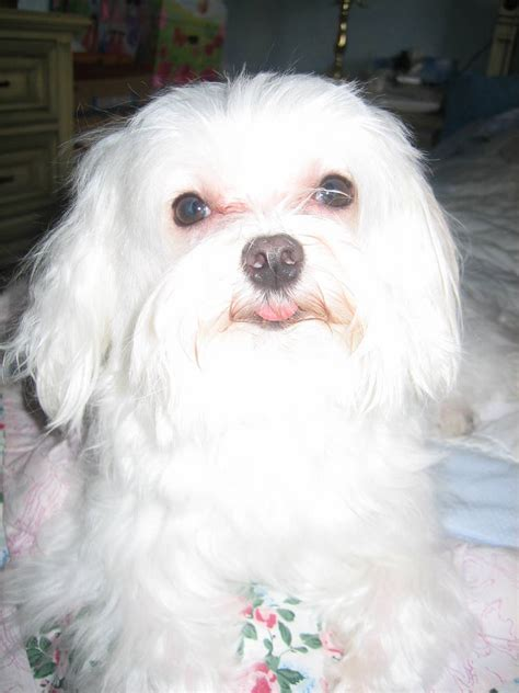 maltese information maltese dog breed information puppies pictures