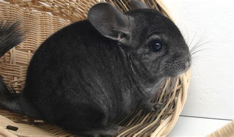where do chinchillas come from squeaks and nibbles