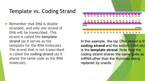 difference between template and coding strand lesson 3 gene expression ppt