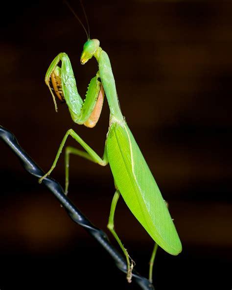 Praying Mantis L by Forum Praying Mantis E