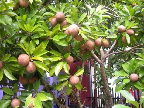 Bibit Pohon Blackberry 5 tanaman yang bisa dicangkok
