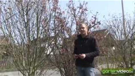 Pflanzen Immergrün Winterhart 1011 by Wie Schneide Ich 228 Lteren Gartenhibiskus Eibisch Hibiscus