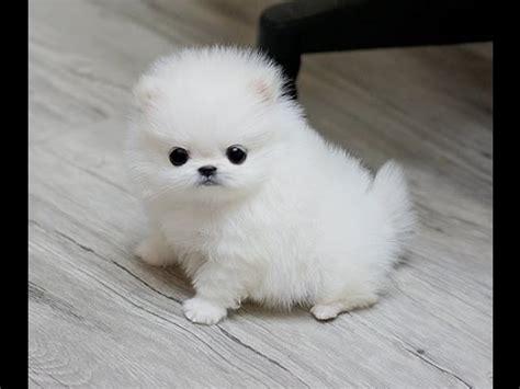 pom pom pomeranian pomeranian puppies poms 2 pomeranians spitz puppy compilation zwergspitz