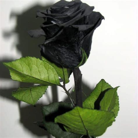 imágenes de rosas negras y azules rosas negras significado c 243 mo hacerlas semillas y mucho m 225 s