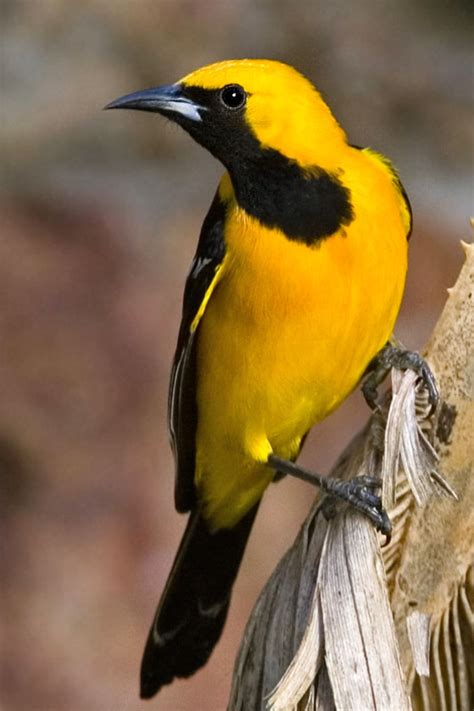 yellow and black bird with orange head image search results