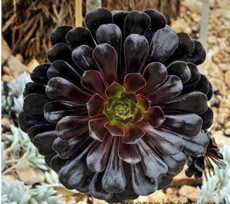 imagenes de flores negras reales las inusuales y raras flores negras plantas