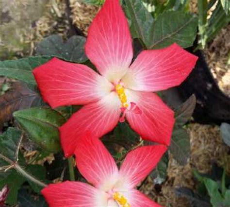 Tanaman Hisbiscus tanaman emblem hibiscus bibitbunga