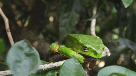 Frog Venom Detox by This Amazonian Tree Frog S Poison Has Become Part Of The
