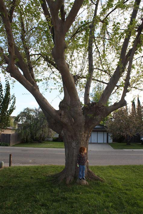fruitless mulberry tree pruning bing images