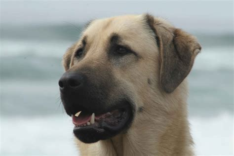shepherd dogs anatolian shepherd portret photo and wallpaper beautiful anatolian shepherd