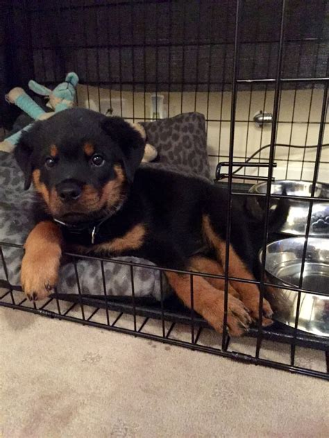 rottweiler crate 1000 images about rottweilers on