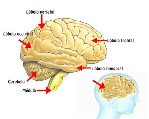 el cerebro obeso las 1503139301 el cerebro funciones ubicaci 243 n partes funcionamiento caracter 237 sticas