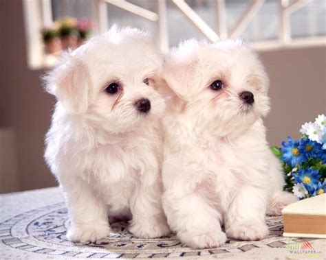 pictures of baby dogs white baby wallpaper 15316