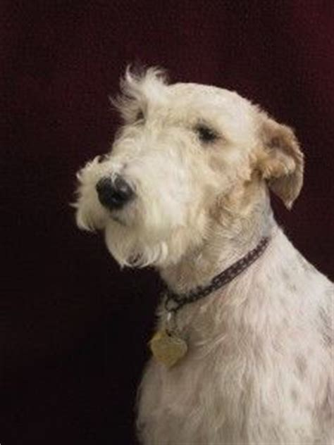 dogs with beards 1000 images about dogs with beards on fox terriers schnauzers and beards