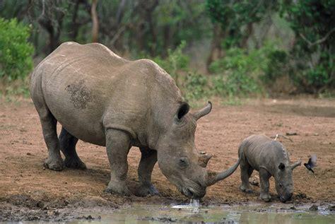 black rhino black rhino 171 the endangered space