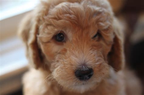 goldendoodle puppy rochester ny goldendoodle puppies for sale blue collar boy major