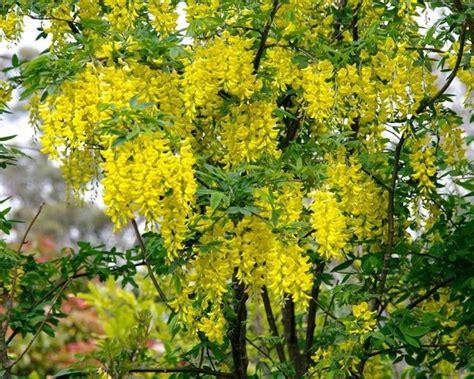 alberi colorati da giardino alberi da fiore piante da giardino caratteristiche