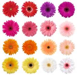 gerbera colors s day flowers feature special meanings galore