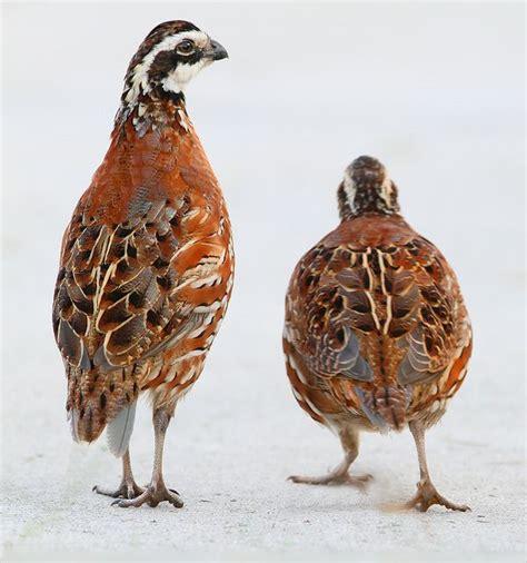 208 best images about birds a field on pinterest quails
