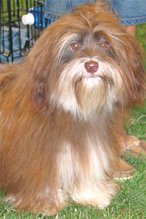 havanese weight standards havanese breeds encyclopedia dogs in depth
