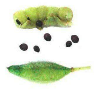 Benih Biji Jahe Herbal jual biji tanaman hias herbal pacar air di lapak garden mart garden mart