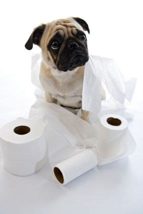 can pugs be trained potty your baby pug animals dogs pugs