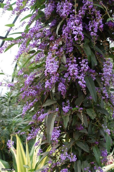 lilac climbing plant vine lilac hardenbergia violacea happy wanderer