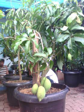 Tanaman Mangga Okyong agro tani lung