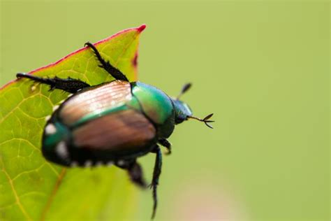 japanese beetles    rid  japanese beetle pests
