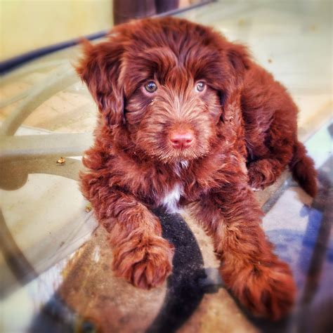 mini aussiedoodle puppies molly ckc moyen poodle aussiedoodle and labradoodle