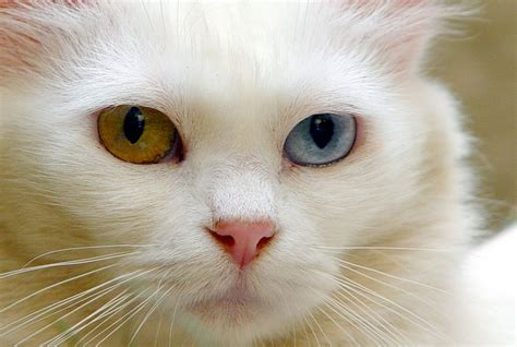 pink nose pink nose turkish angora cat wallpapers and images wallpapers pictures photos
