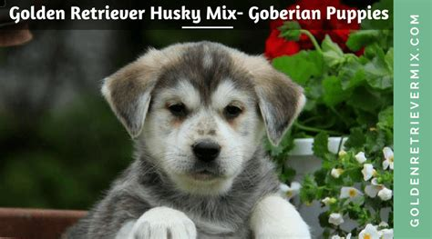 golden retriever siberian husky mix puppies golden retriever husky mix goberian puppies