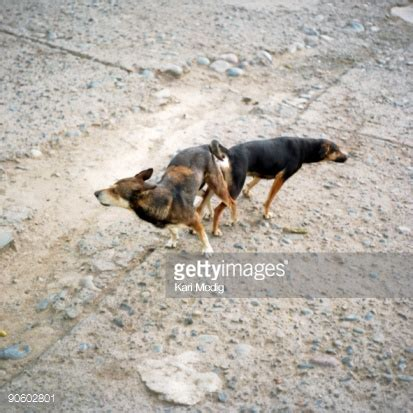 dogs stuck together of dogs stock photos and pictures getty images