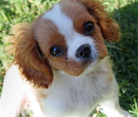 king charles cavalier spaniel puppies the cavalier king charles spaniel puppies daily puppy
