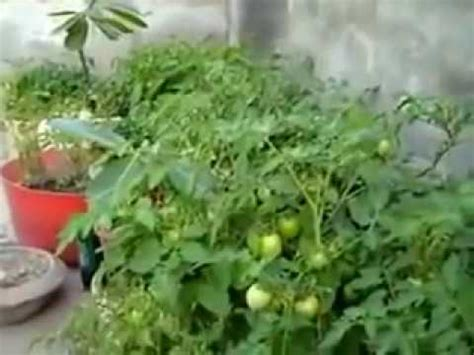 plants at home growing tomato plant at home urdu hindi youtube