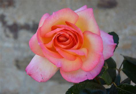 petali di fiori petali di fiori rosa immagine gratis domain pictures