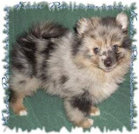 pomeranian coat colors pomeranian colors information regarding coloring of the pom