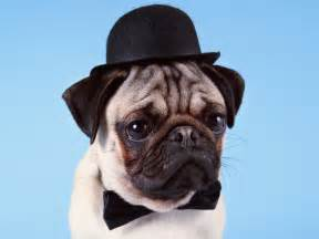 pug in a hat squishfacedogs a collection of dogs with squished faces what s not to top