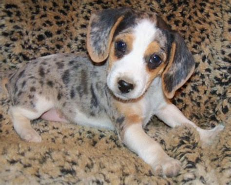 teacup beagle puppies teacup beagle puppies breeders breeds puppies teacup beagle puppies