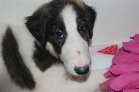 russian wolfhound puppies 8 gorgeous russian wolfhound pups for sale wrexham wrexham pets4homes