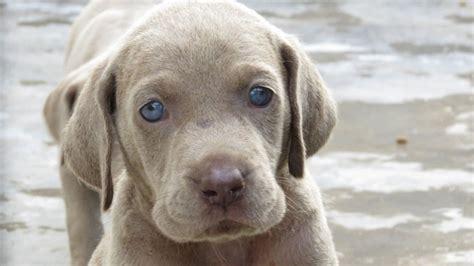 weimaraner puppies mn pin weimaraner puppy on