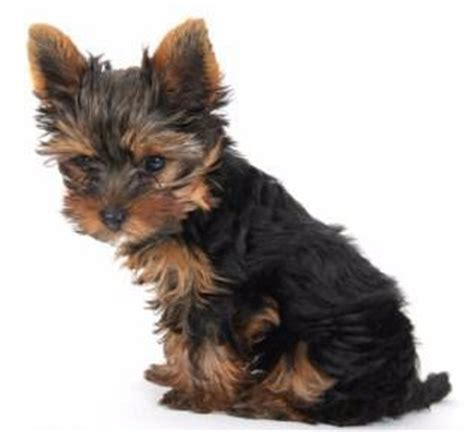 fluffy yorkie puppy terrier appearance what does a yorkie look like